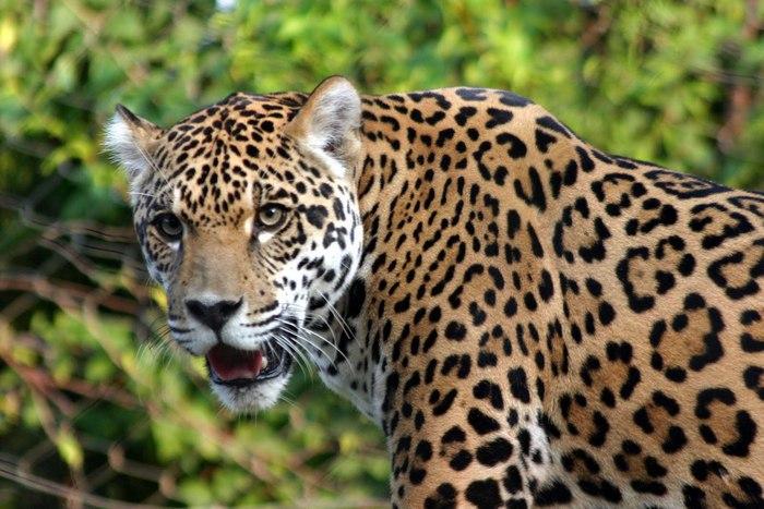 En B/bermeja, imágenes de jaguares en apareamiento, es tendencia