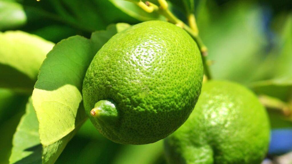 Alcaldía fortalece proyecto productivo para comercializar el limón criollo