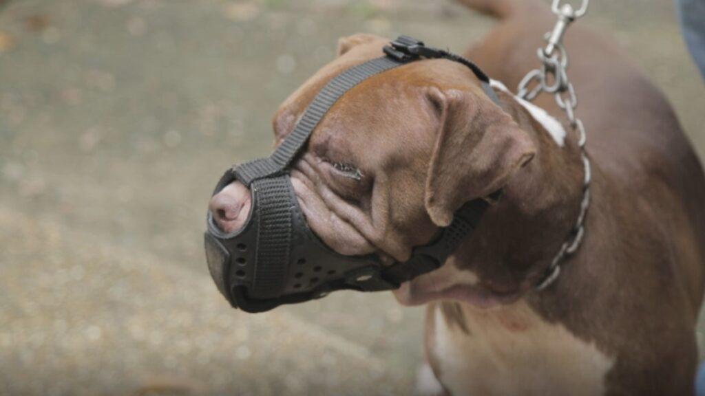 Conozca las normas para la tenencia de perros de razas de manejo especial