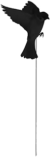 Crow Flying on a string