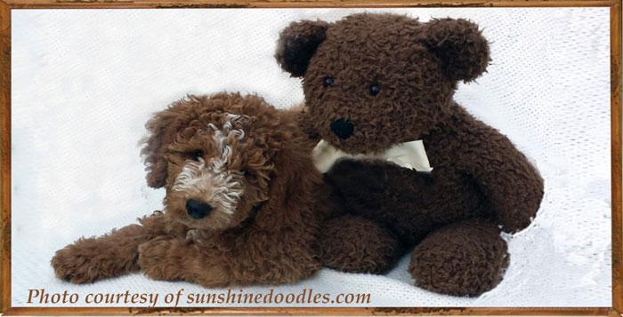 golden-doodle-puppies-1
