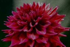 0107-Zorro-Evangelista-second-bloom