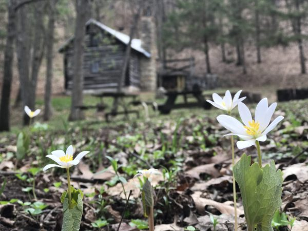 Wild Flowers popping up at Beaver Valley Camp near Osceola, Wisconsin