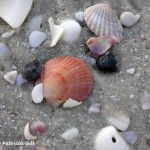 Shell treasures abound on Naples' beaches.