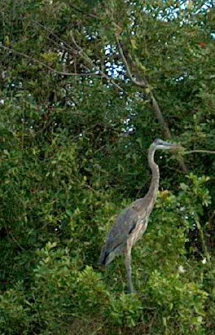heron southwest Florida naplesbonitamarco.com   photo by: Patricia Gill saidthespider.net