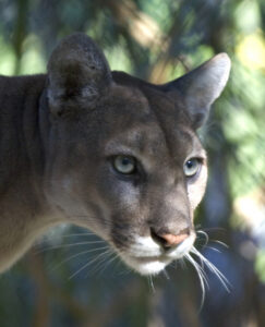 Florida Panther photo by National Park Service employee-wikipedia-public domain