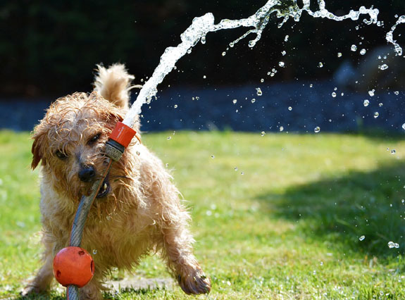 dog-playing-with-sprinkler