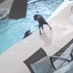 Dog Jumps Into Pool To Save Drowning Friend