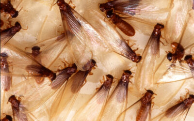 Do You Need Pest Control for Termite Swarming Season?