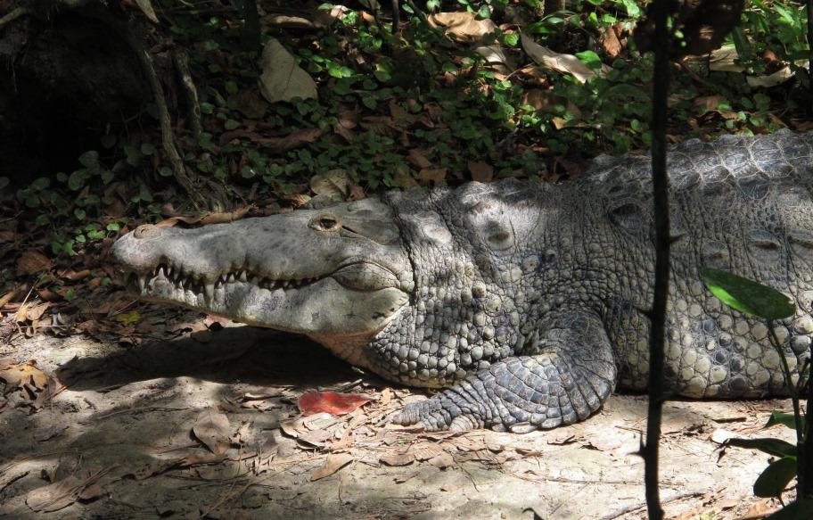 Crocodile-WHEP-in-Belize-2015