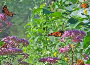 Butterflies on a milkweed plant