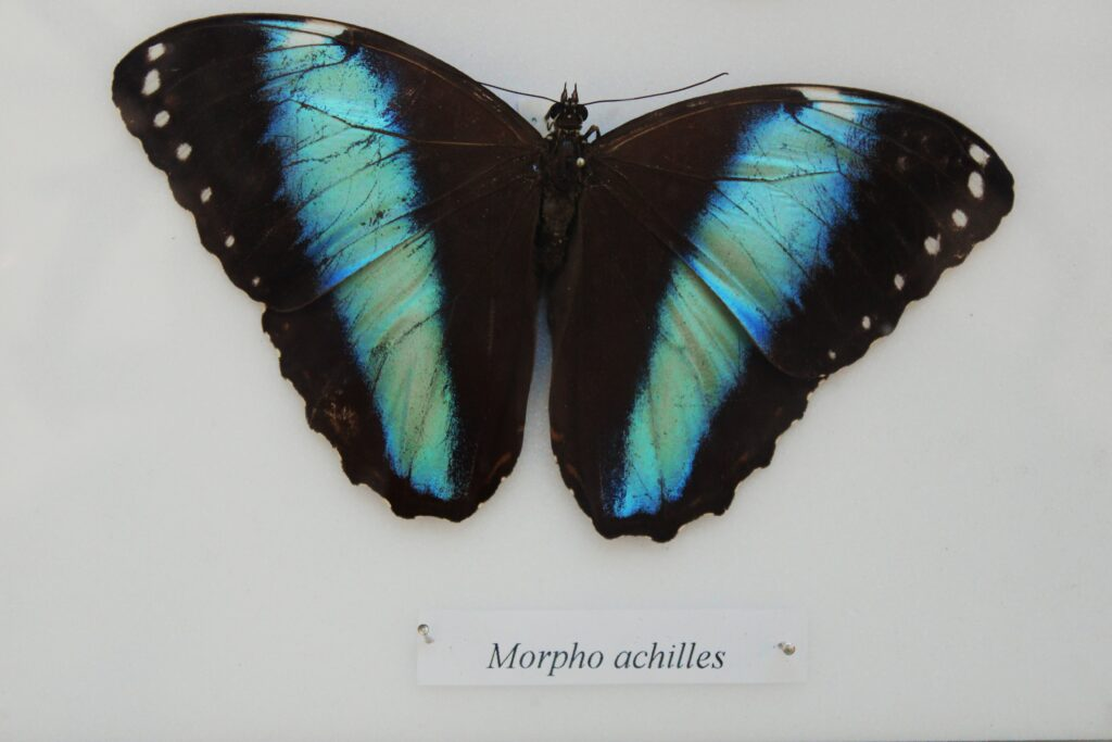 Blue Morphos Butterfly image