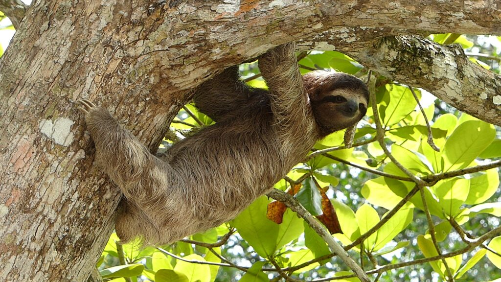 Sloth Hanging from Tree Manuel Antonio National Park