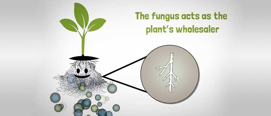 Mycorrhizal-Fungi