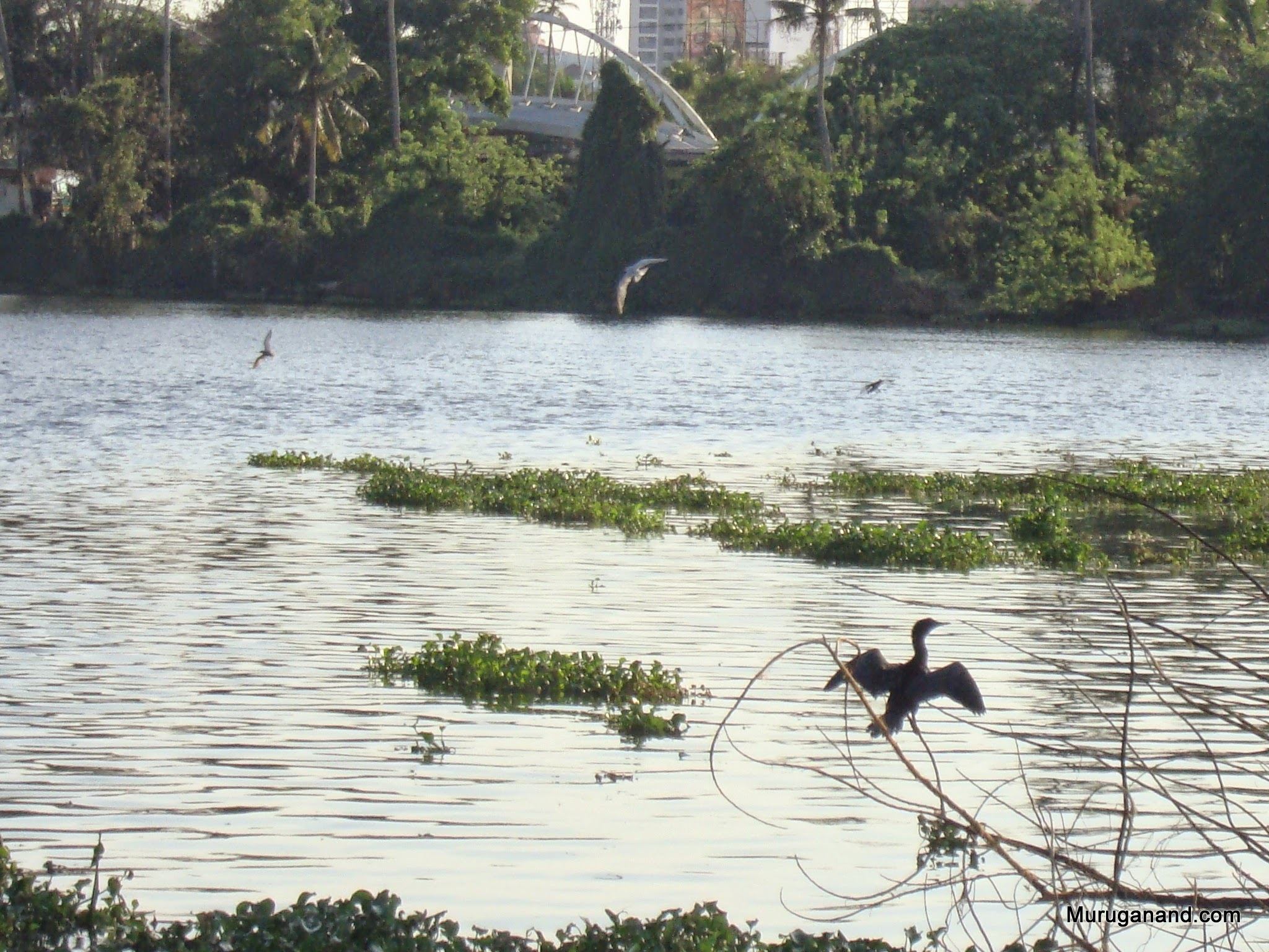 Floating plants on water- moves due to flow of backwaterCormorants busy fishing