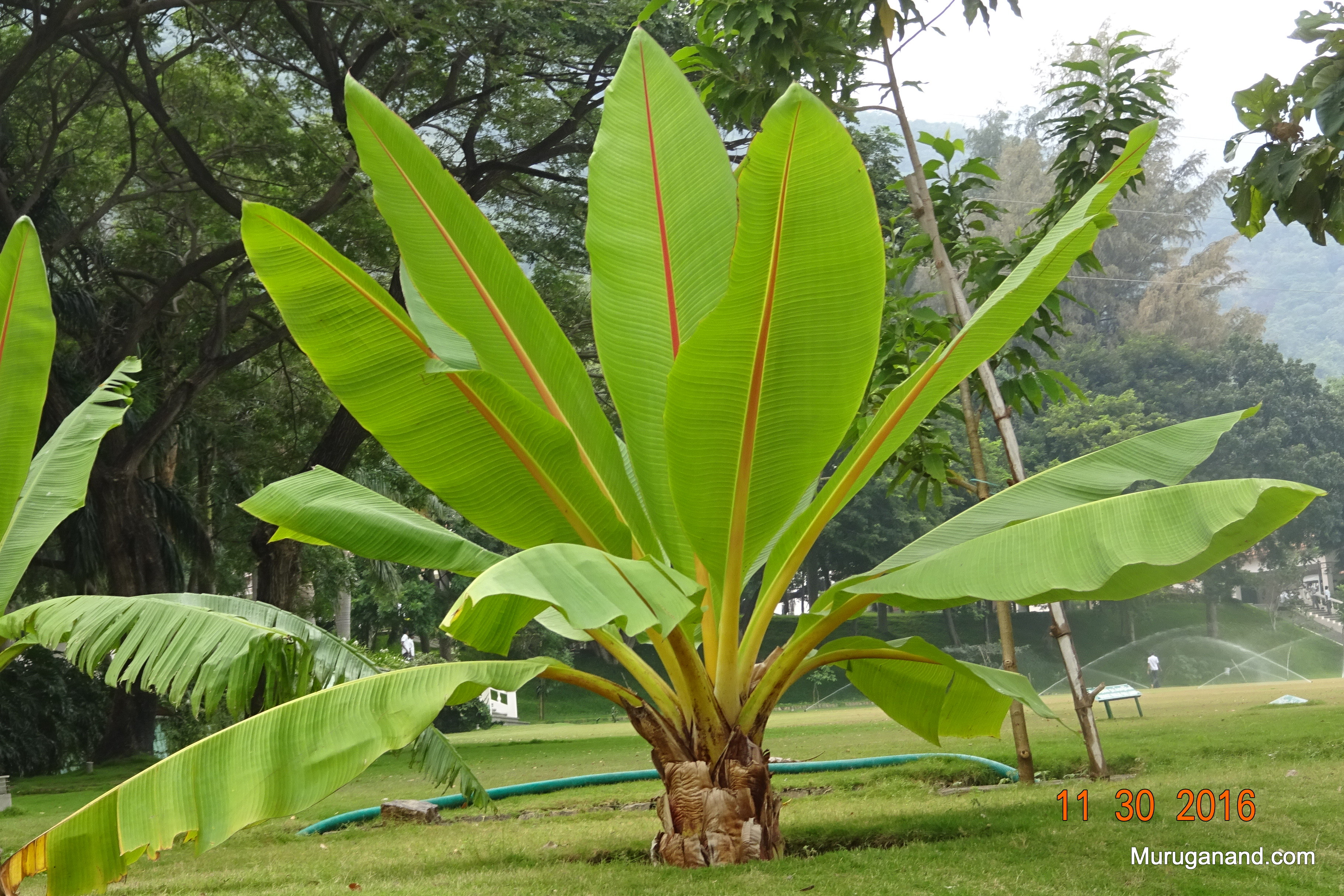 Not sure whether it belongs to banana family or palm.