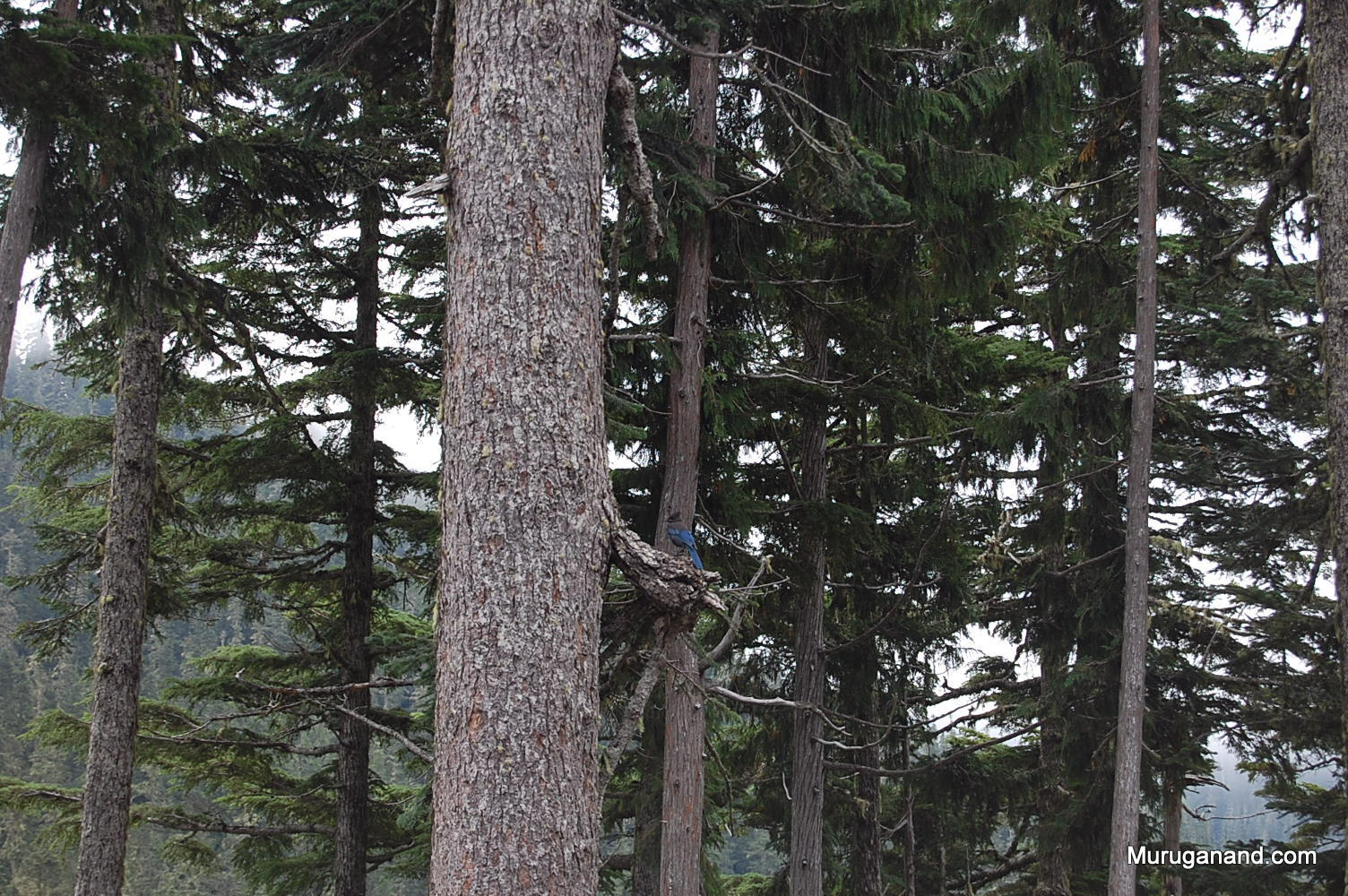 Steller's Jay and others like rare Northern spotted owl inhabit this park