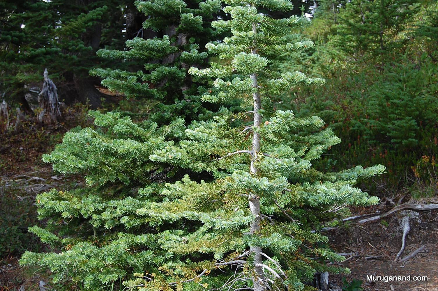 Close up of the sub-alpine fir
