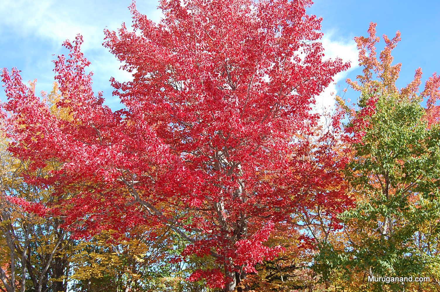 Maple trees are vibrant.