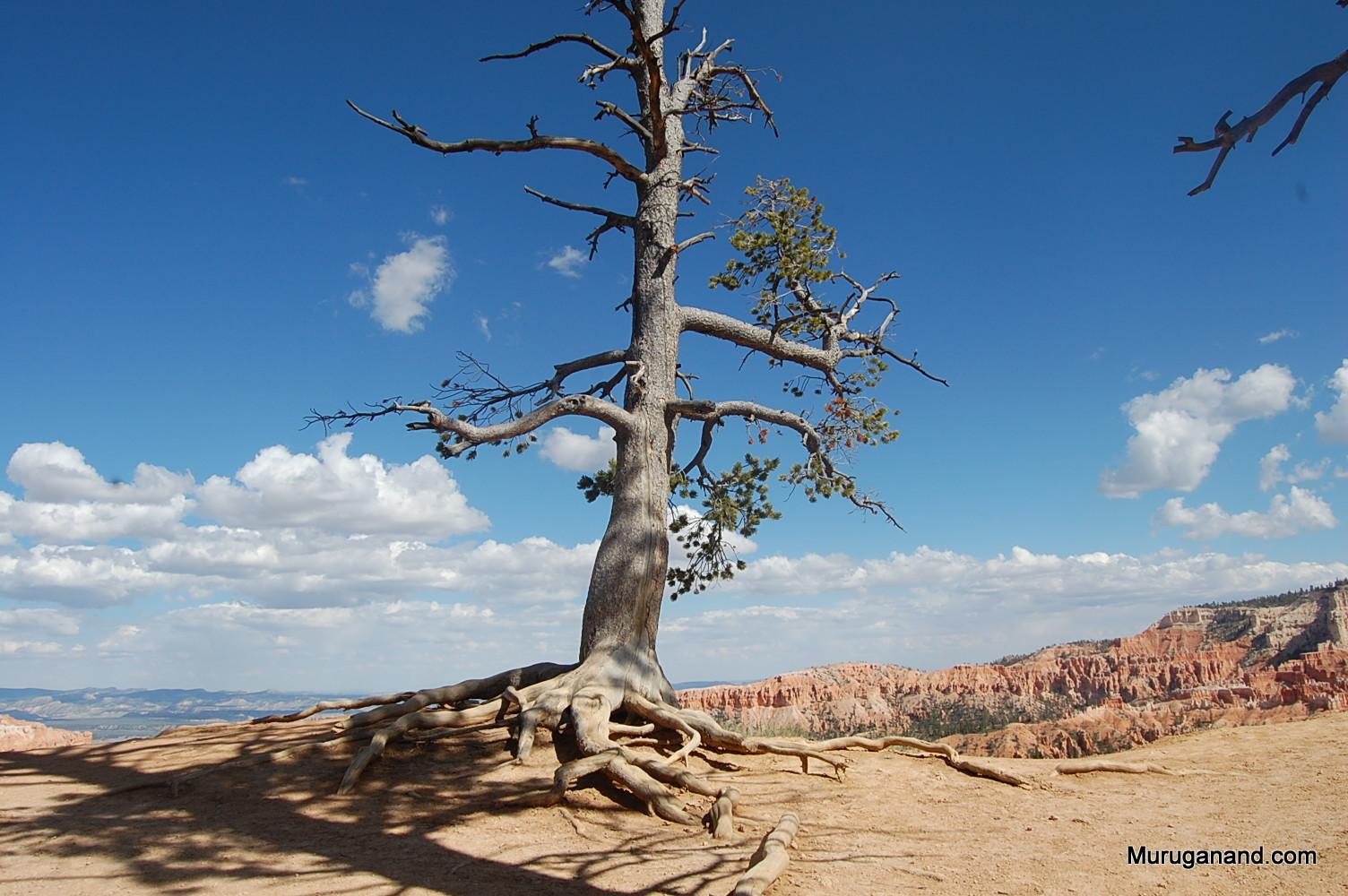 Ponderosa root exposed due to rapid erosion.