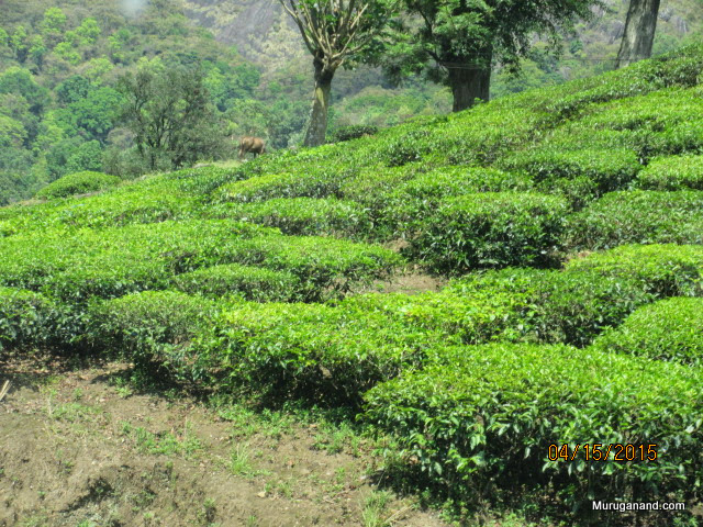 Tea plants- can live for 100 years!
