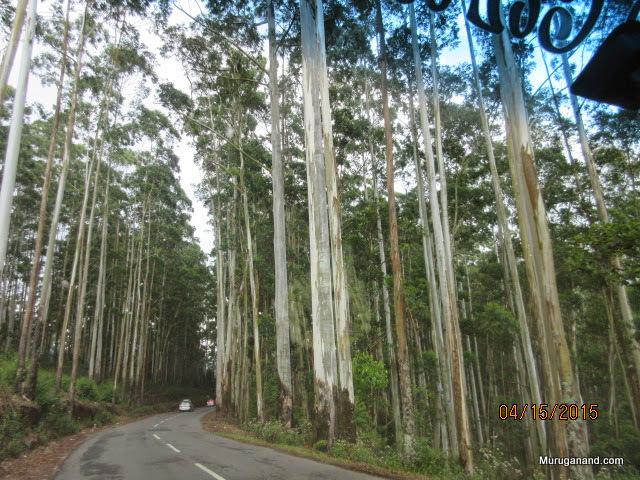 Eucalyptus trees around