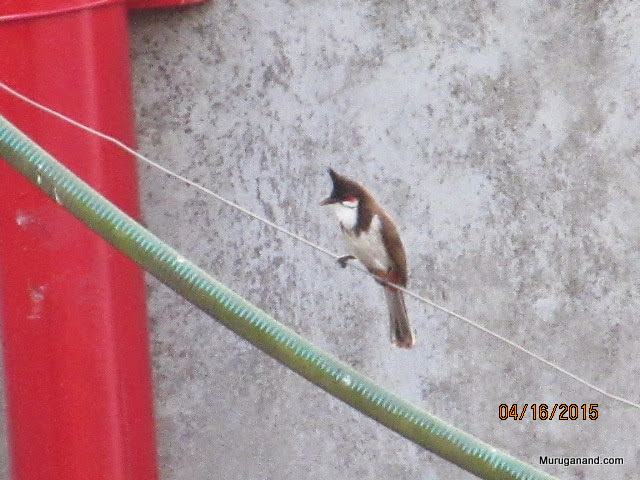 Bulbuls all over the palce