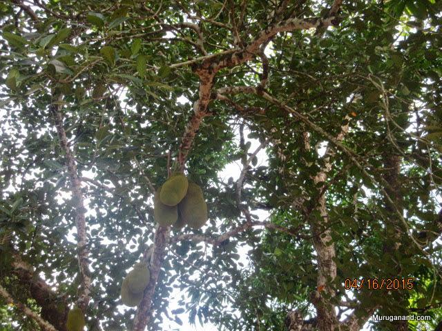 Jack fruit trees