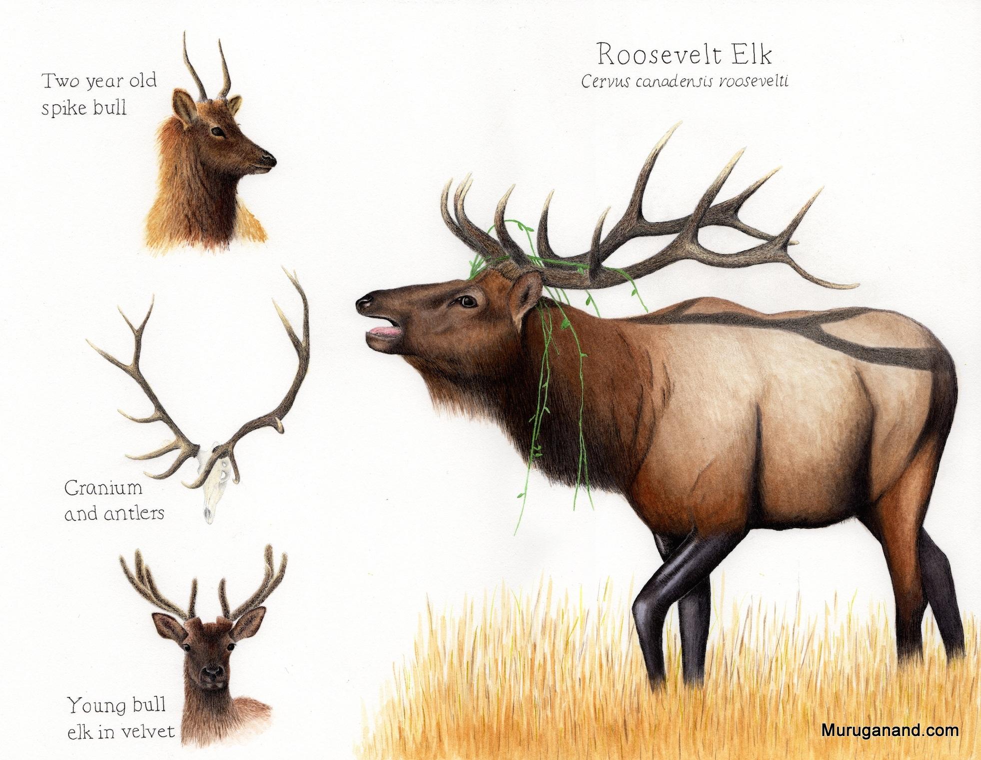 Roosevelt-elk-antlers-72-dpi