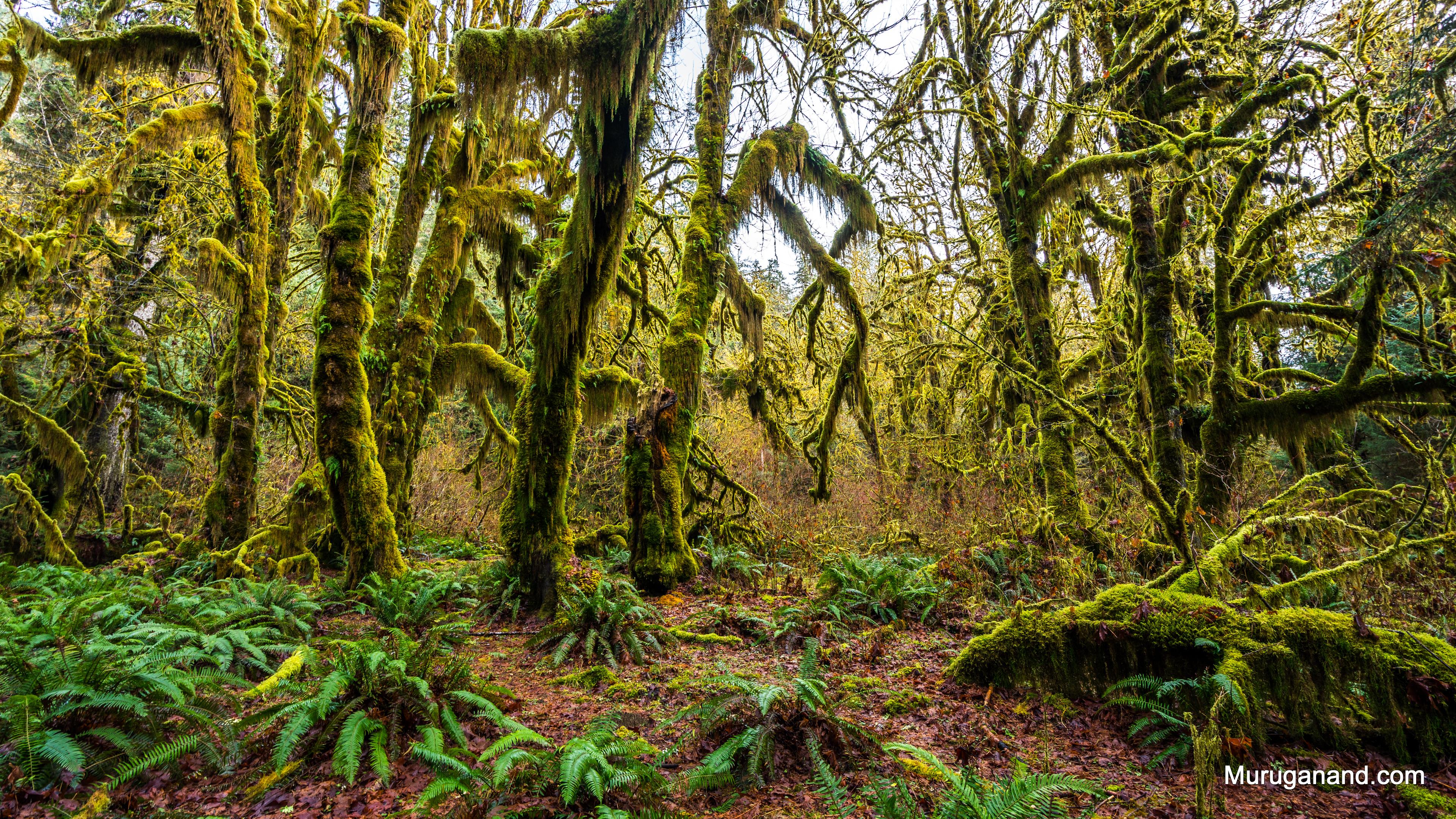 hoh-rain-forest-2