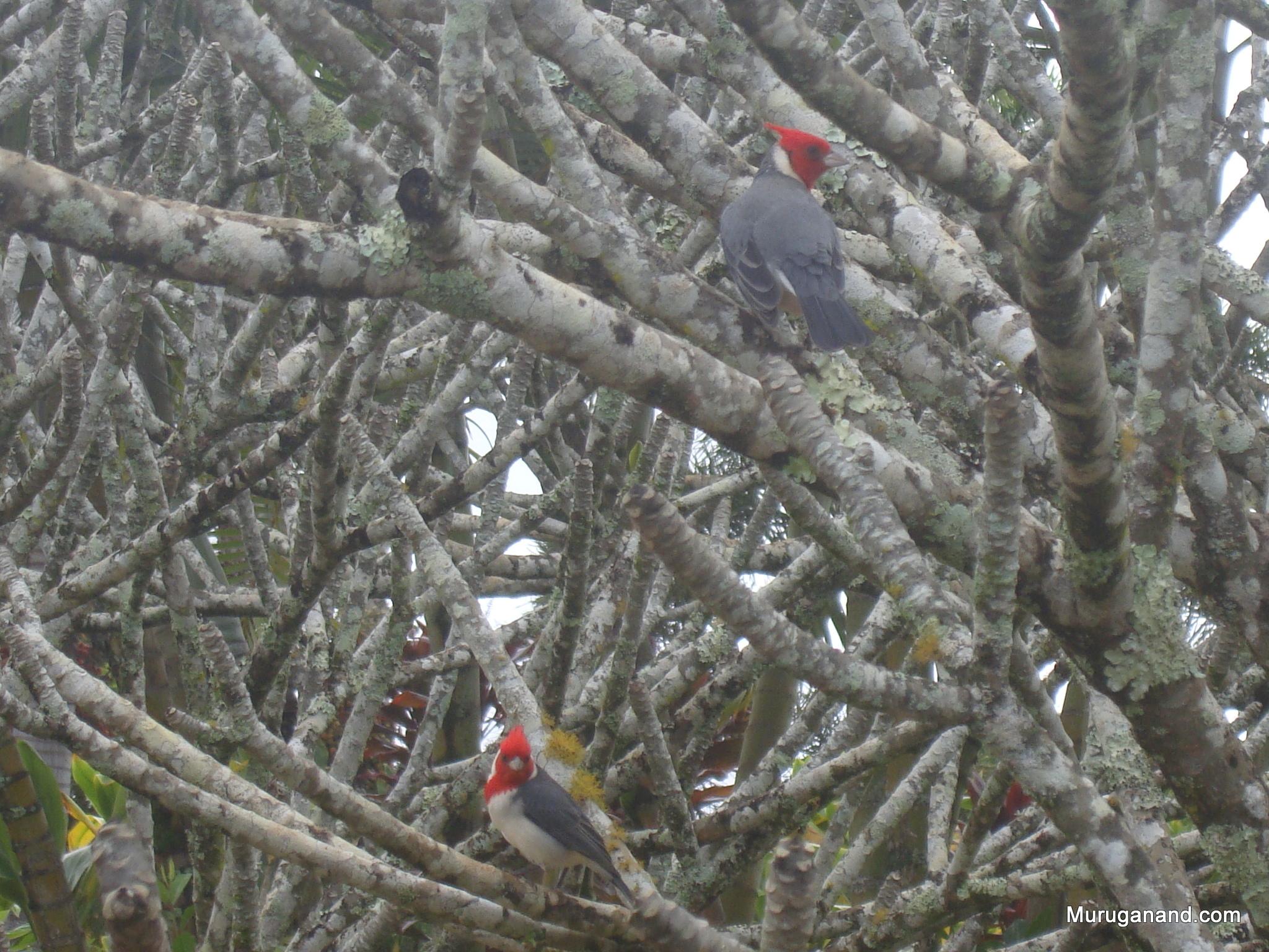 Red Crested Cardinal at Dole Plantation (O'ahu)