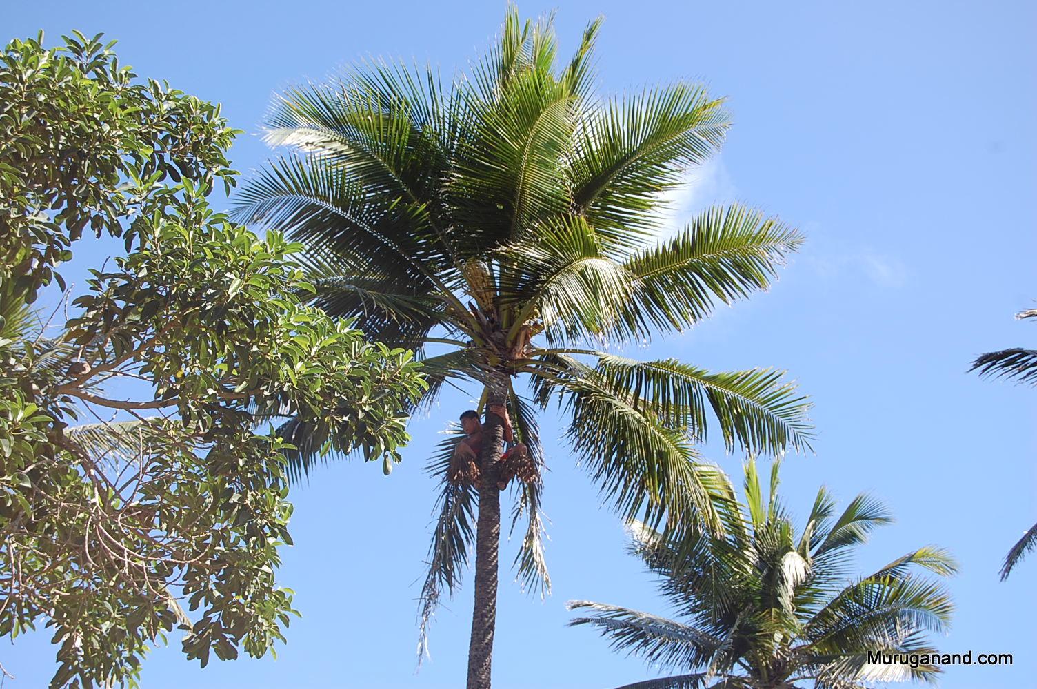 How to climb a tree (O'ahu)