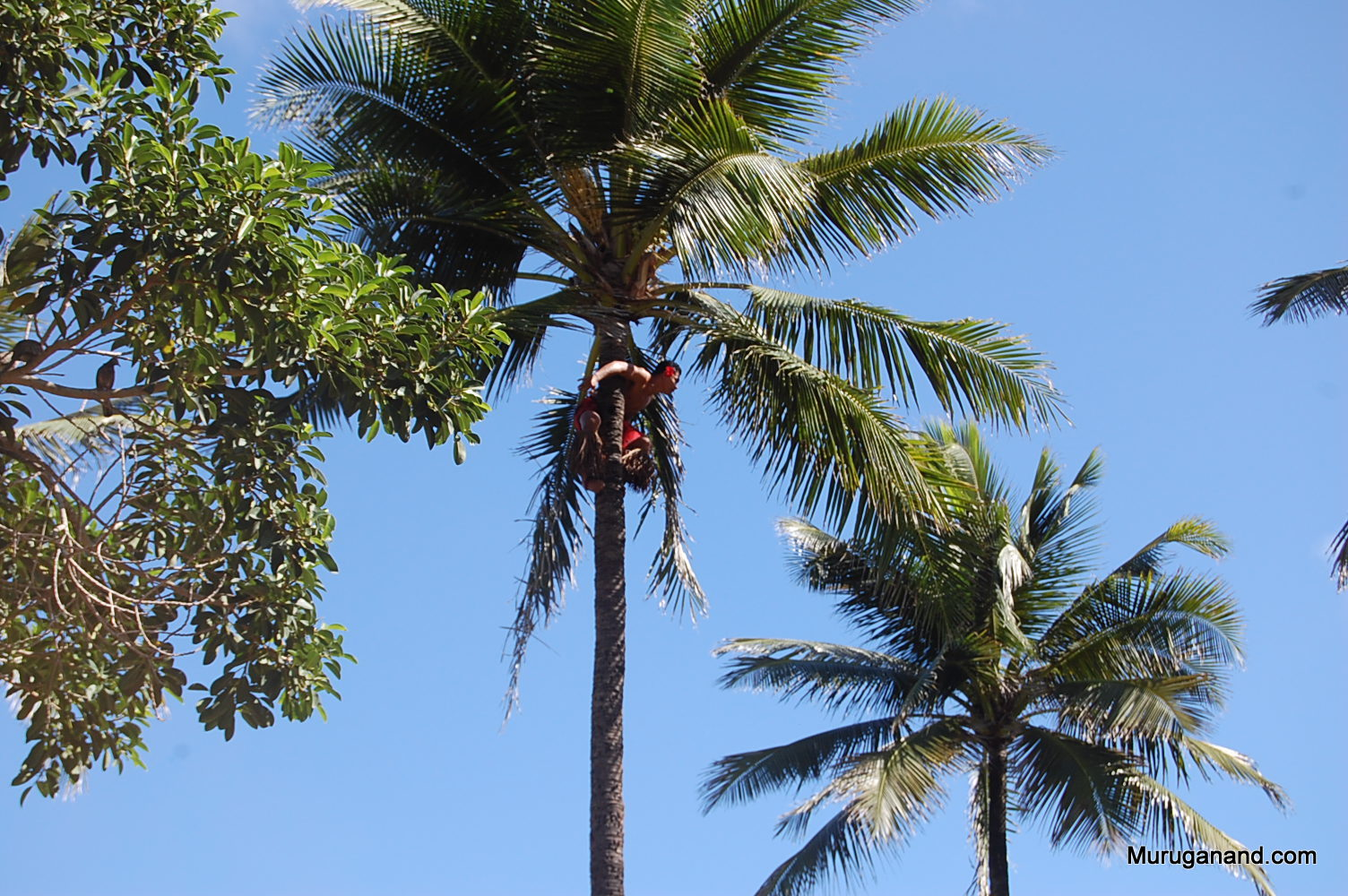 Pretending to jump to the next tree (O'ahu)