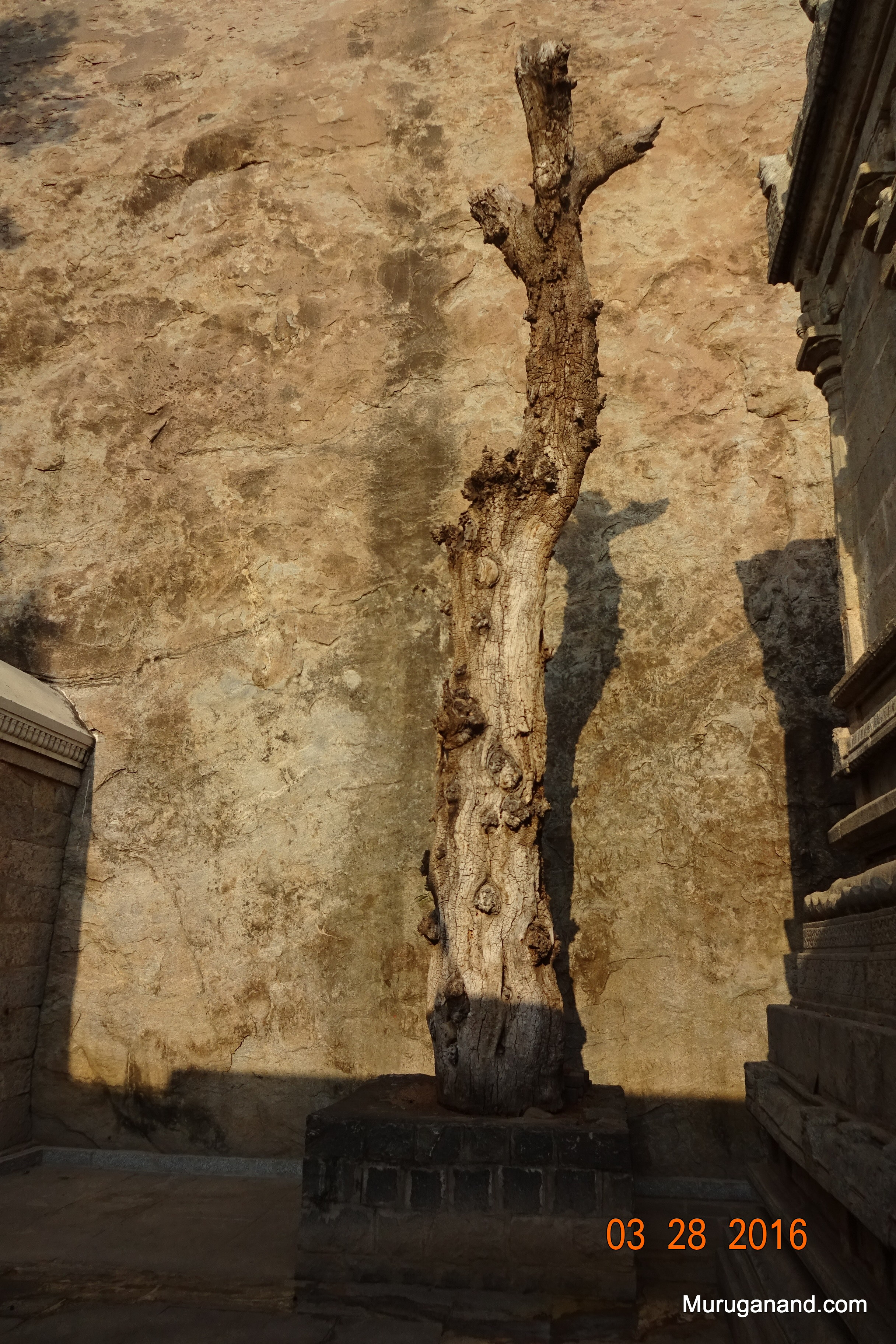 Old temple tree