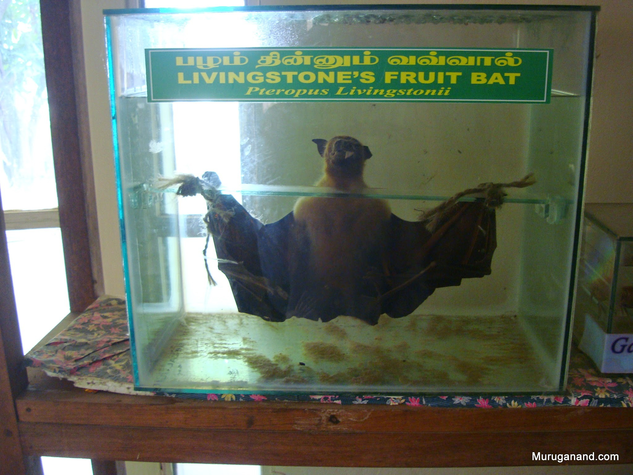 Mega bat that eats fruitsRare species found in Africa, Madagaskar and here