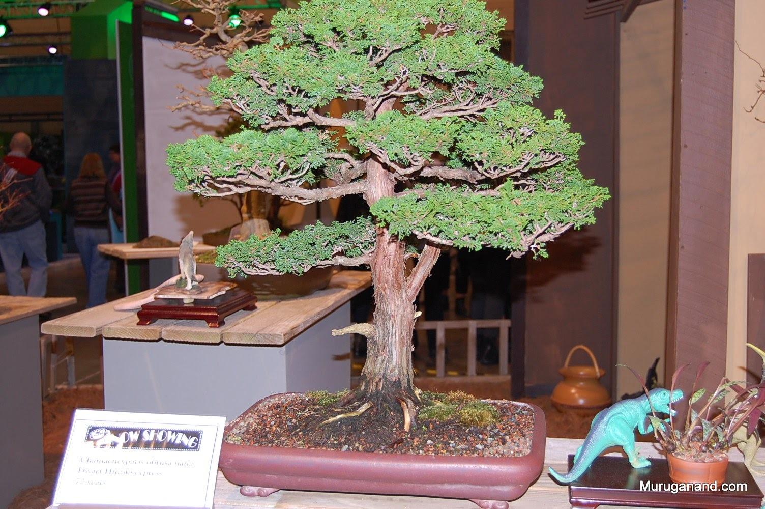 Dwarf hinoki cypress 72 years
