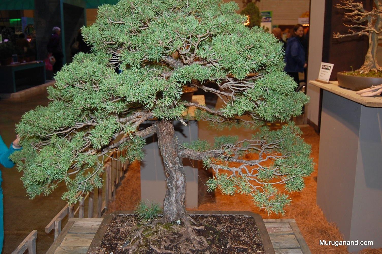 Scots Pine 75 years