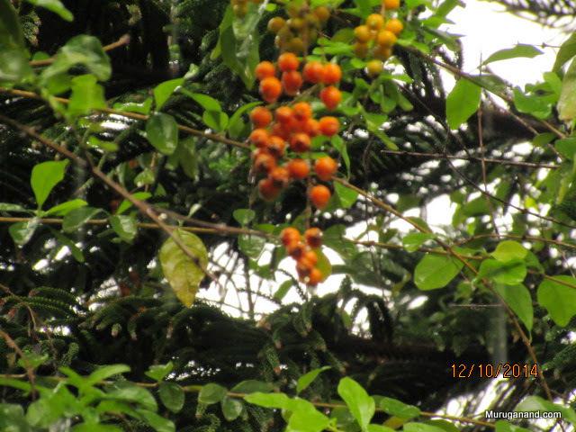 Have you seen black pepper fruit?