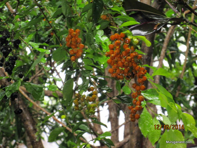 Bunches of black pepper fruit