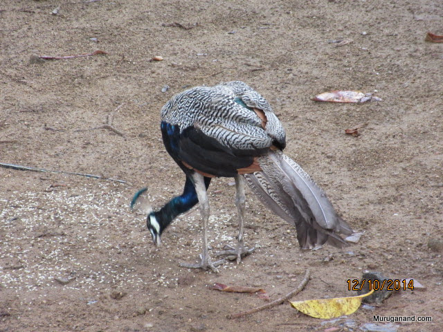 Well fed Peafowl at the entrance