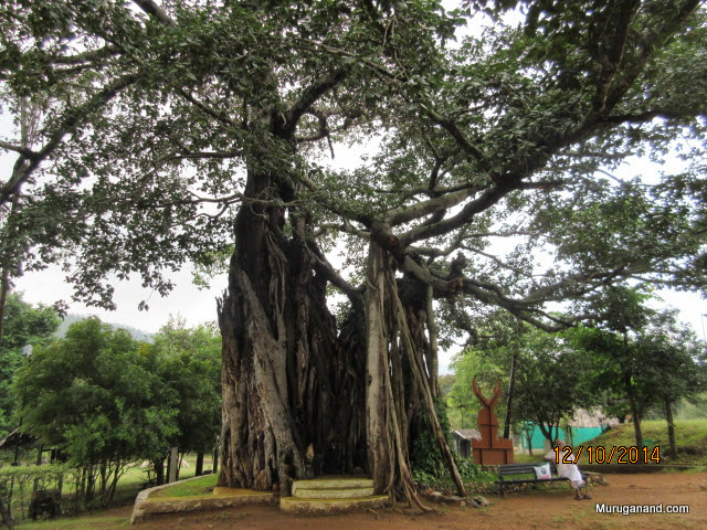 Dr Ratnam is relaxing under a 200 year old Banyan Tree