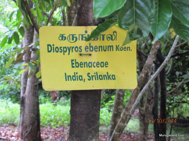 Karunkali tree-why is it derogatory?