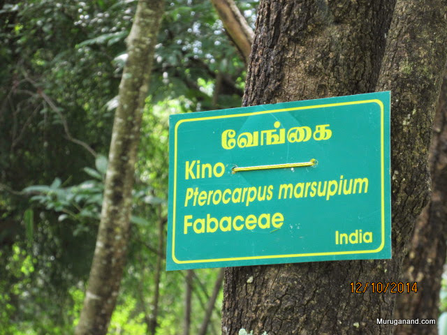 Legendary tree- Lord Muruga turned into this tree in Valli Kalyanam