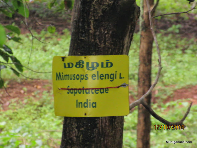 Makizham Poo tree
