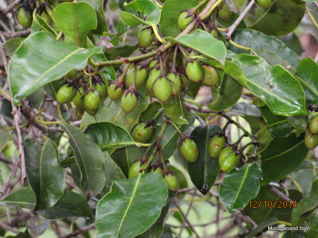 Flowers are popular; Fruits have medicinal use;