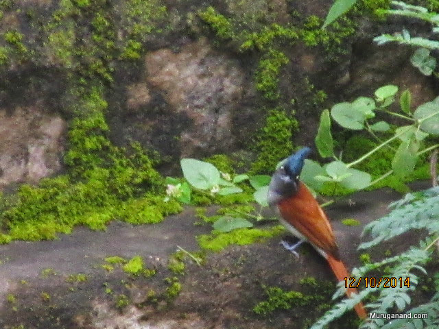 Bird of paradise- Asian paradise flycatcher- Arasawall Eepidippan in Tamil