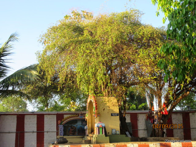 The tree gives fruits at all seasons which is offered to the temple Gods daily