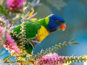 bottlebrush tree and parrot