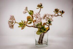 Jade plant - grow in water