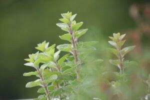 Oregano - grow plants in water